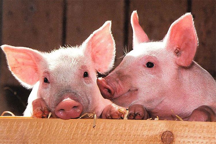 Beneficios del uso de proteínas de cerdo ibérico en la fabricación de los piensos